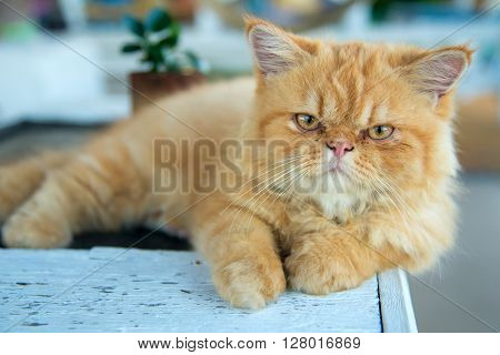 Portrait Of Lying Persian Cat On Table