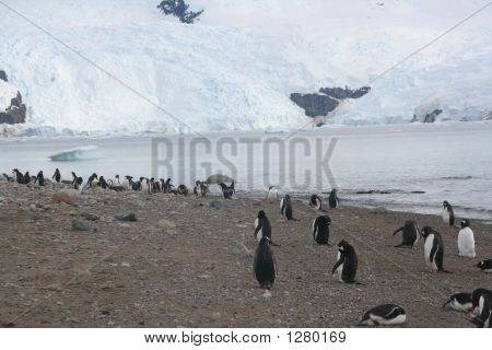 Gentoo Penguins On Shore