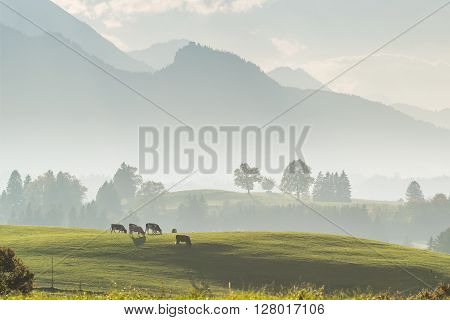 Beautiful Landscape With Cows