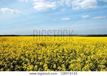 rapeseed field gelb sky with clouds the month of May