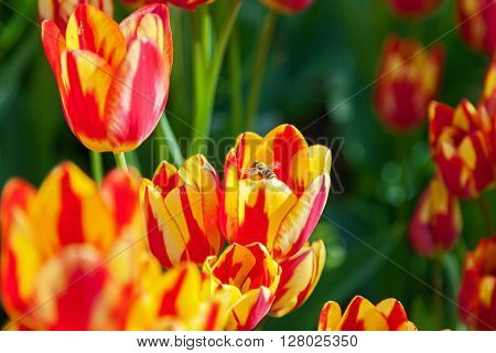 bee collects pollen on tulips flower-bed with tulips blossoming in different shapes and colors the first spring tulips in the park