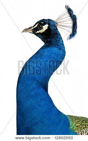 Peacock in front of white background