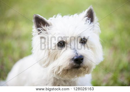A white Cairn Terrier dog posing outdoors