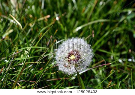 Overblown dandelion with seeds flying away with the wind, closeup
