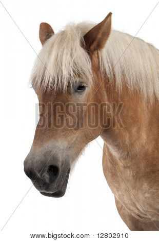 Close-up of Belgian horse, Close-up of Belgian Heavy Horse, Brabancon, a draft horse breed, 10 years old, standing in front of white background