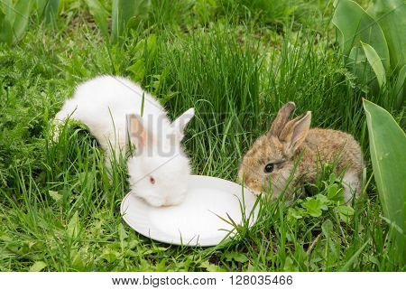 two small rabbits drinking milk from a saucer on a green grass. White and brown bunny. Soft focus