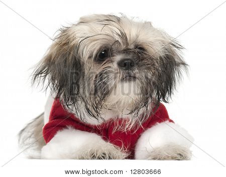 Shi Tzu puppy in Santa outfit, 5 months old, lying in front of white background