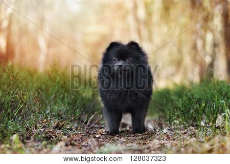 adorable black pomeranian spitz dog posing outdoors