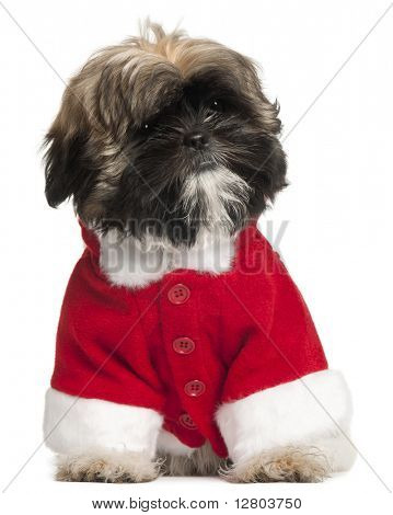 Shi Tzu puppy in Santa outfit, 3 months old, sitting in front of white background