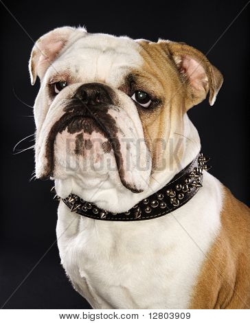 Close-up portrait of serious-looking English bulldog wearing spiked collar.