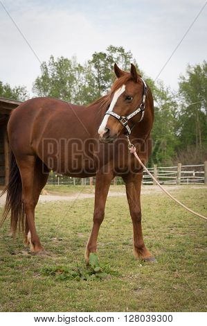 older Arabian brown and white mature horse in pasture standing in portrait