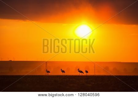 The stork silhouettes at sunset on the field