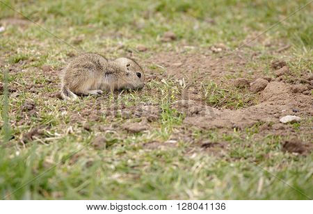Baby gopher eating grass on a Spring afternoon.