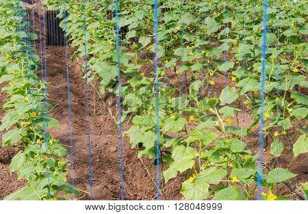 cultivation of cucumbers in greenhouse crop in 2016