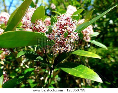 Japanese Skimmia Skimmia japonica rubella blooming red pink flowers