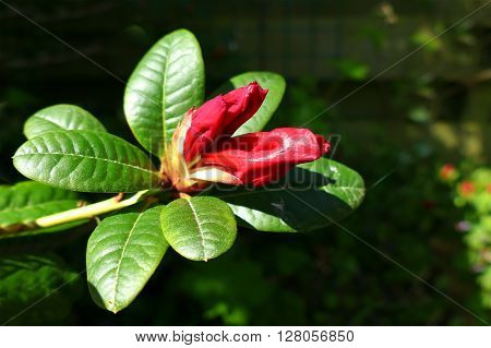 Red rhododendron bud in garden almost opening