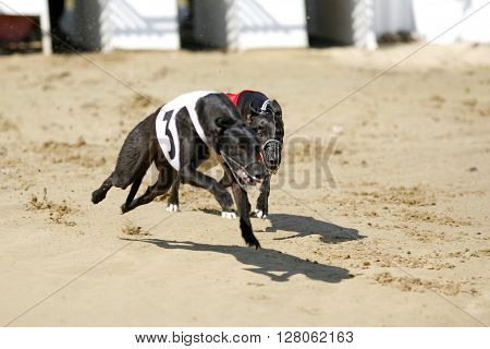 Greyhounds Full Speed Running At Race Track