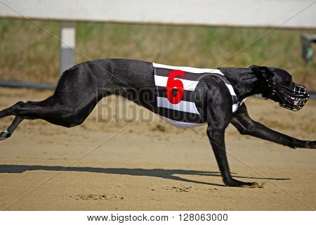 Very Fast Greyhound Flying Over Race Track