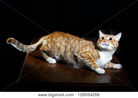 Ginger tabby cat on a wooden table, looking up, fighting pose ** Note: Shallow depth of field