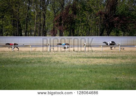 View Of A Greyhound Race Track With Running Dogs