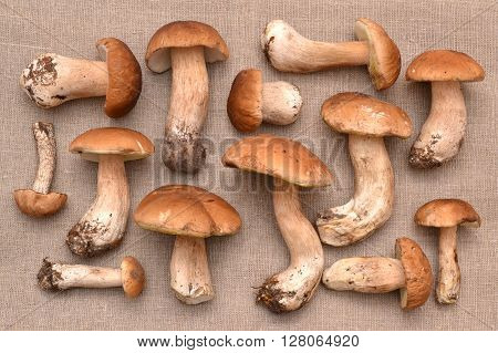 Porcini mushroom. Mushrooms on linen. Group of porcini mushrooms. The natural color and texture.