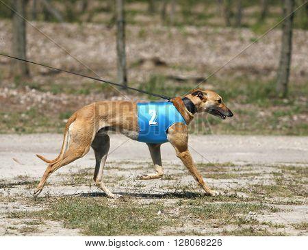 Greyhound On Leading Strings Summertime