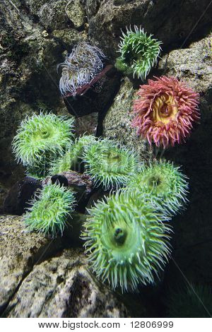 Sea anemone in aquarium in Lisbon, Spain.