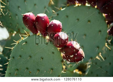The fruit of a Prickly Pear is called a Tuna.