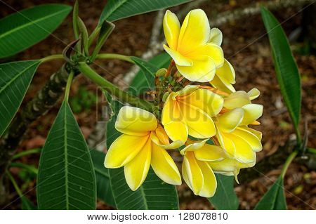A cluster of beautiful yellow plumeria flowers in bloom in spring south west florida. Also known as frangipani and dogbane.