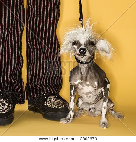 Chinese Crested dog on leash standing next to man's legs.