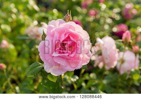 A close-up of a single Princess Anne English Rose