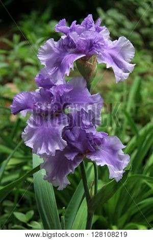 A Trio of Beautiful, Purple, Bearded Iris Blooming in Late Spring