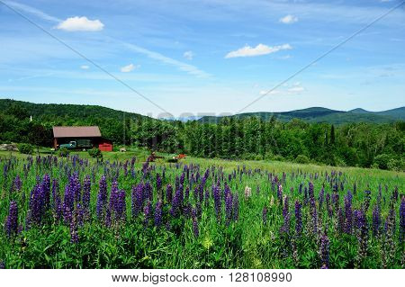 lupine blooming in spring and remote farm house