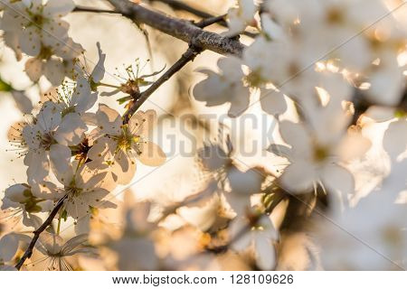 Detail of White Spring Flowers Wild Fruit Bushes in the Sunset