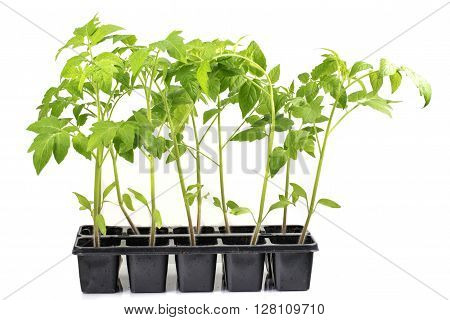 Seedlings Tomatoes Plant Vegetable isolated on White Background