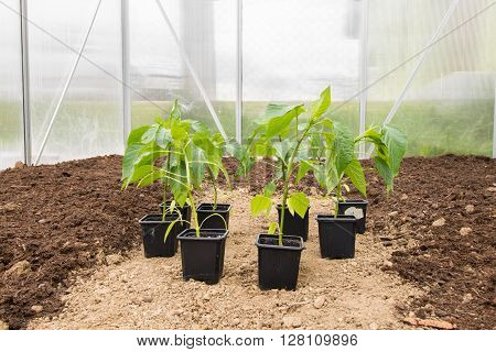 Several Seedlings Paprika (Capsicum Peppers) in Small Greenhouse ready for Spring Planting Vegetable