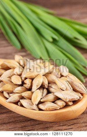 Macro closeup of barley grain on wooden spoon and barley grass in background healthy nutrition and lifestyle body detox