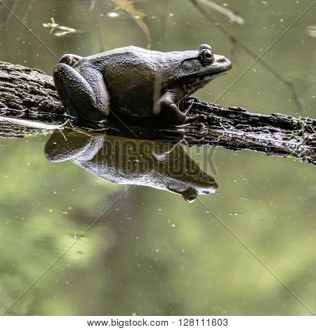 Close up of a bullfrog on a log with reflection in a calm pond