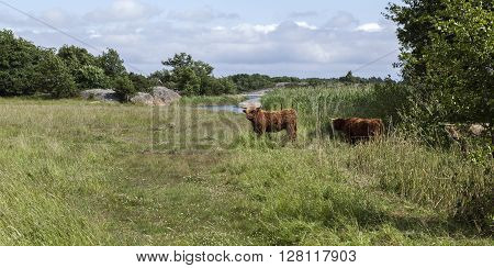 Scottish highland cow on an island. Close to the shore. Meadows, reed and forests. Cliffs in the water.