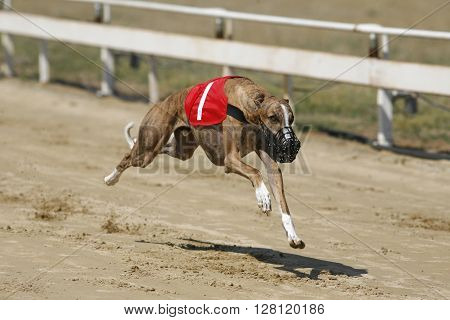 Ultra Fast Greyhound Flying Over Race Track
