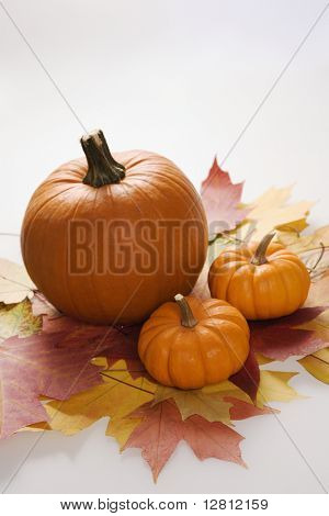 Still life of orange pumpkins sitting on group of Maple leaves in Fall color against white background.