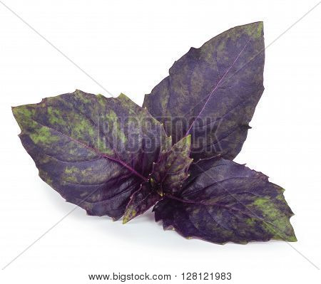Purple basil top leaves isolated on white background closeup. Seasoning aromatic herb basil