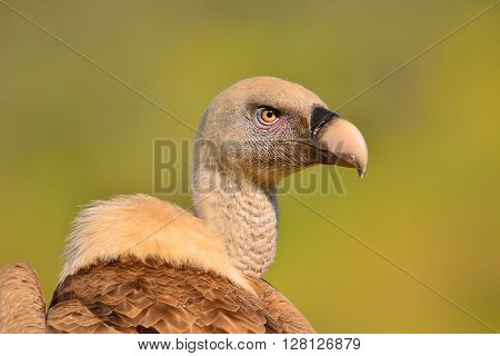 Close-up Of Griffon Vulture Head.
