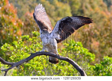 Male Bonelli's Eagle Spreading Wings