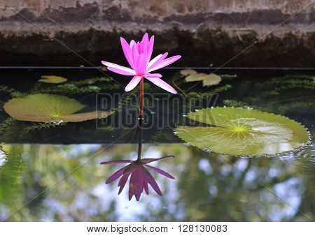 A single pink waterlily and its reflection in a pond inside a Buddhist temple