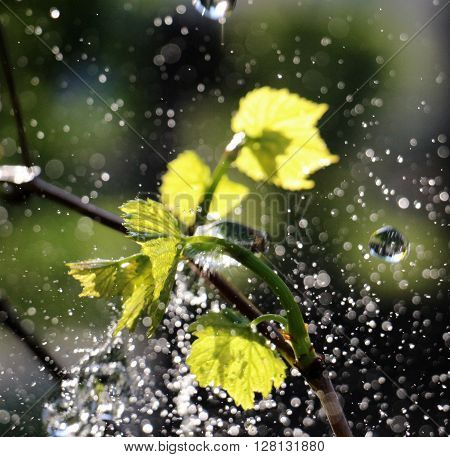 picture of a waterdrops on a grape leaves
