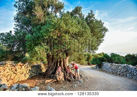 Little Twin Girls and Mother are sitting and ancient old olive tree. Children and family are enjoying big and old ancient olive tree in the olive garden in Mediterranean - Croatia - island Pag.