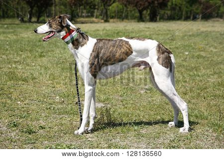 Award Winning Greyhound Posing For The Camera