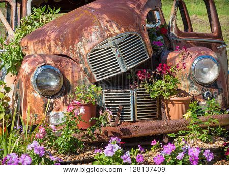 ALBANY, AUSTRALIA - MARCH 30, 2016: A rusty Austin A40 motor car in its final resting place among flowers just outside the town of Albany, in Western Australia.