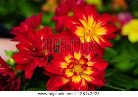 Dahlia flower in red end yellow, summer garden - expresses dignity and elegance